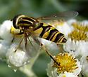 Fly - Helophilus fasciatus