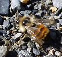 Honey Bee? - Bombus ternarius - male