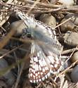Fuzzy gray body butterfly - Pyrgus communis - male