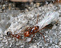 Fire Ant Queen with small worker - Solenopsis invicta - female
