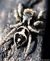 tiny jumping spider - Habronattus
