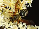 Mining Bee - Andrena prunorum - female