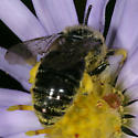 Bee ZH3Z5216 - Colletes