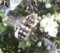 Large Bee - Xeromelecta californica