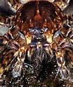 Fishing Spider? - Dolomedes