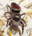 Young Phidippus - Phidippus johnsoni - male