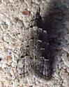 Tortricidae: Unknown Specimen - Carposina