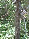 Mt. Washington Black Spruce - Pytho