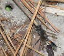 thread-waist wasp - Ammophila - female