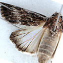 Moth for ID - Neogalea sunia