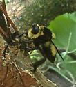 Florida Bee Killer? - Mallophora