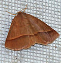 Moth 4 - Metarranthis obfirmaria - female