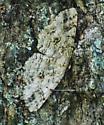 Patterned Moth on Oak Tree #1 - Melanolophia