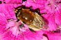 which syrphid? - Merodon equestris - female