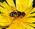 Transverse Flower Fly - Eristalis transversa - female