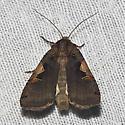 Setaceous Hebrew Character - Hodges#10942 - Xestia c-nigrum