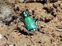 metallic green beetle? - Cicindela sexguttata
