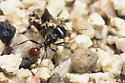 Rough Harvester Ant - Pogonomyrmex rugosus