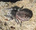 Jumping Spider - Phidippus purpuratus? - Phidippus purpuratus - female