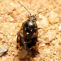 Bumpy Mirid - Deraeocoris nebulosus