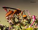 Red Wasp (Polistes carolina) - Polistes