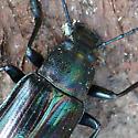 Darkling beetle - Tarpela micans