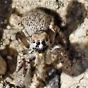 Tiny Pebble Jumper - Habronattus amicus