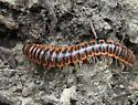 Red Millipede - Eurymerodesmus