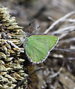 Green lycaenid
