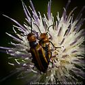 Soldier Beetle (family Cantharidae-I think) on Feld Thistle, Cirsium discolor, Savannah, Ga - Nemognatha piazata - male - female