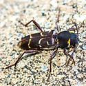 unknown beetle - Xylotrechus schaefferi