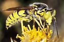 Crabronidae--maybe Steniola sp? - Steniolia scolopacea - male