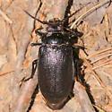 Root borer - Prionus laticollis - female