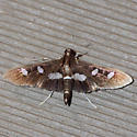 Grape Leaffolder Moth  - Hodges #5159 - Desmia