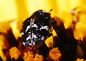 Black and white carpet beetle - Something in Anthrenus? A. lepidus, perchance? - Anthrenus lepidus
