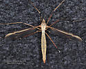 Tipula ?