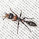 Elongate Twig Ant - Pseudomyrmex gracilis