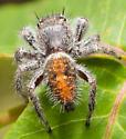 P.texanus, maybe? - Phidippus - female