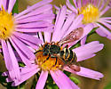 bee? species or genus? - Epeolus autumnalis