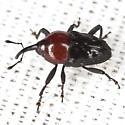 Tiny Weevil - Madarellus undulatus
