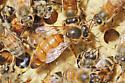 Queen Honey Bee - Apis mellifera - female