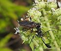 Apiomerus crassipes
