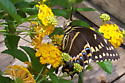 Palamedes Swallowtail - Papilio palamedes - female