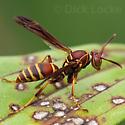 Wasp from the Houston Area - Polistes dorsalis