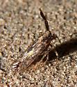 Hemiptera-Delphacidae- Copicerus irroratus - Copicerus irroratus