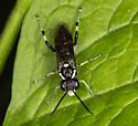 Macrophya senacca ? - Macrophya flavolineata - female