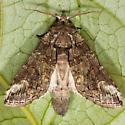 Oblique Heterocampa - Hodges#7983 - Heterocampa obliqua - male