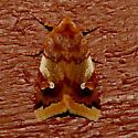 Agrochola pulchella