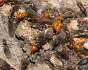 Winged ant emergence - Lasius interjectus