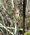 smallish cicada of grasslands, Diceroprocta? - Diceroprocta viridifascia